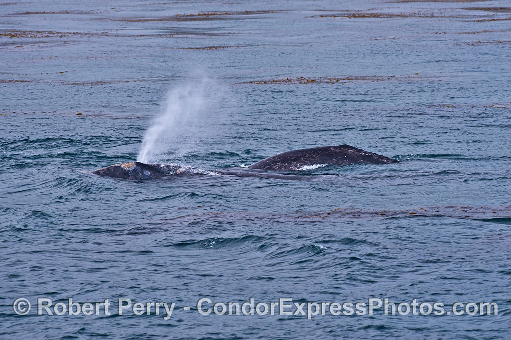 Two gray whales in the kelp forest.