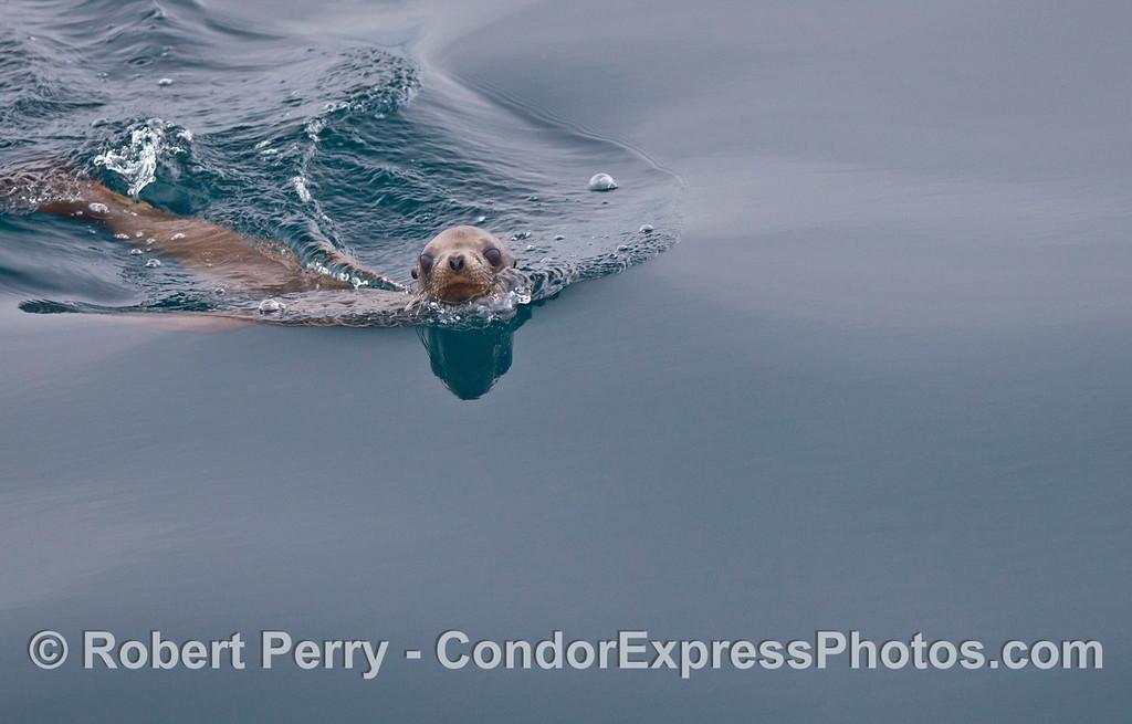 Mirror glass flat ocean and a California sea lion pup.