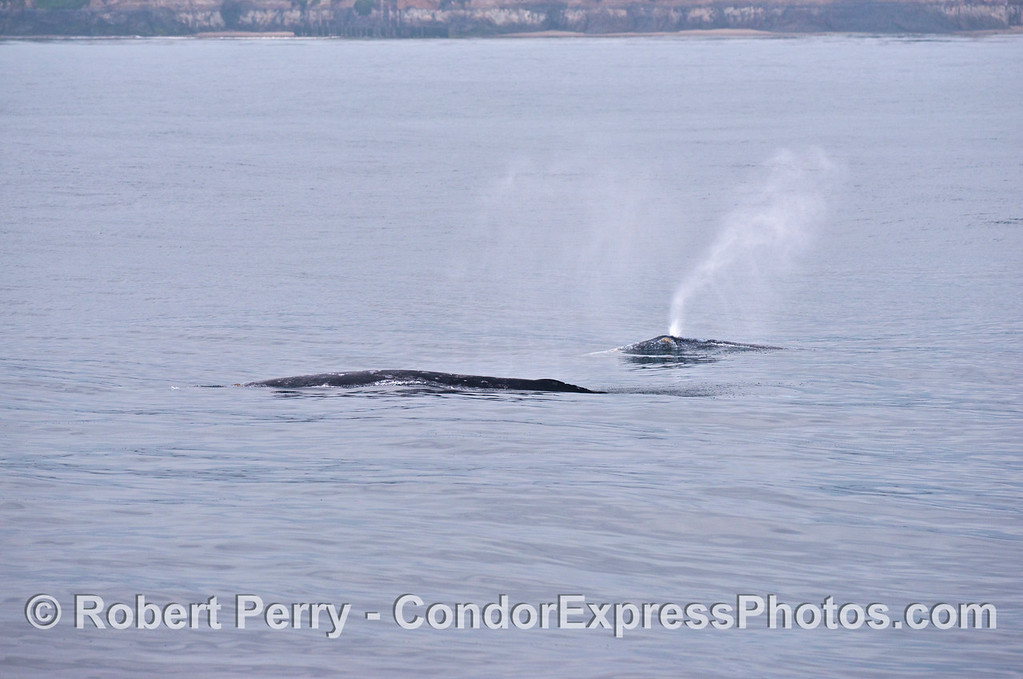 Two gray whales, one spouting.
