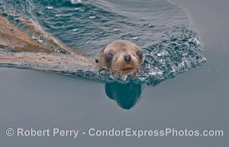 A young California sea lion swims across the mirror.