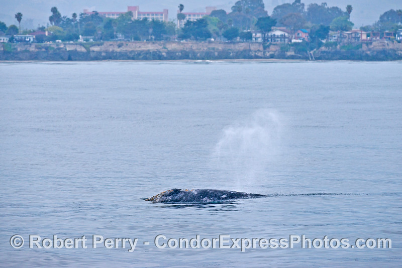 Part of the UCSB campus is seen in the background as this migrating gray whale heads for Alaskan waters.
