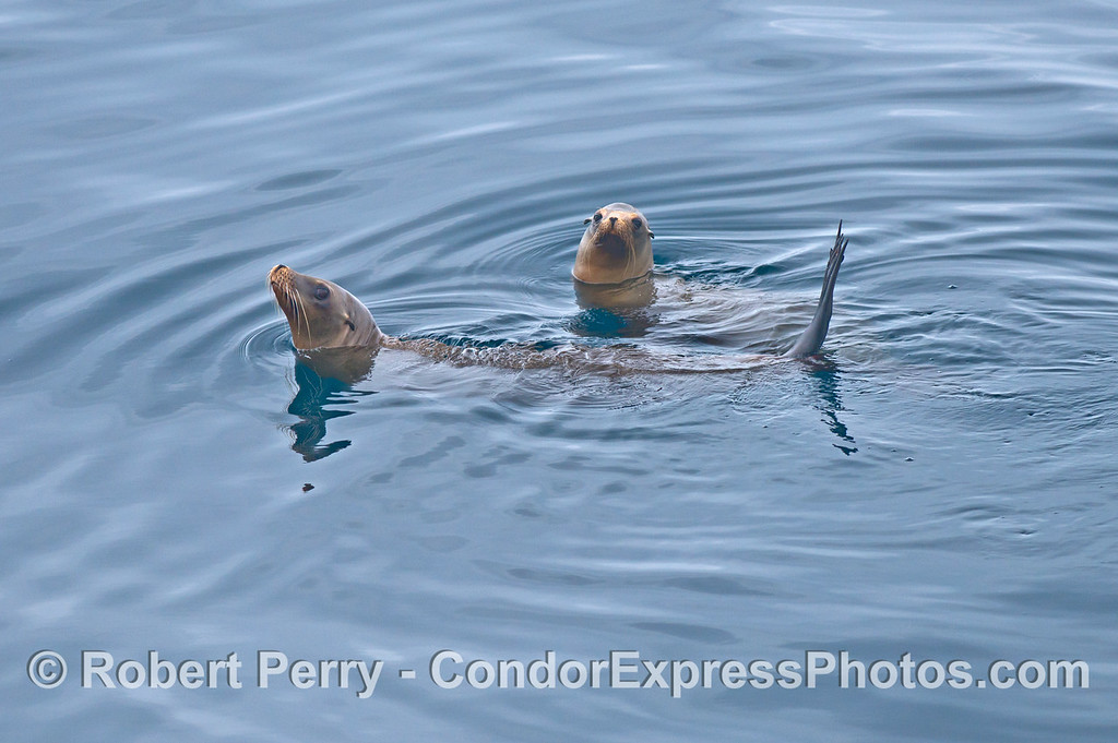 A pair of California sea lions rafting together.