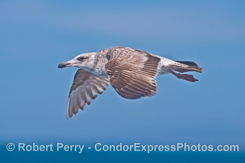 A juvenile gull makes a close approach.