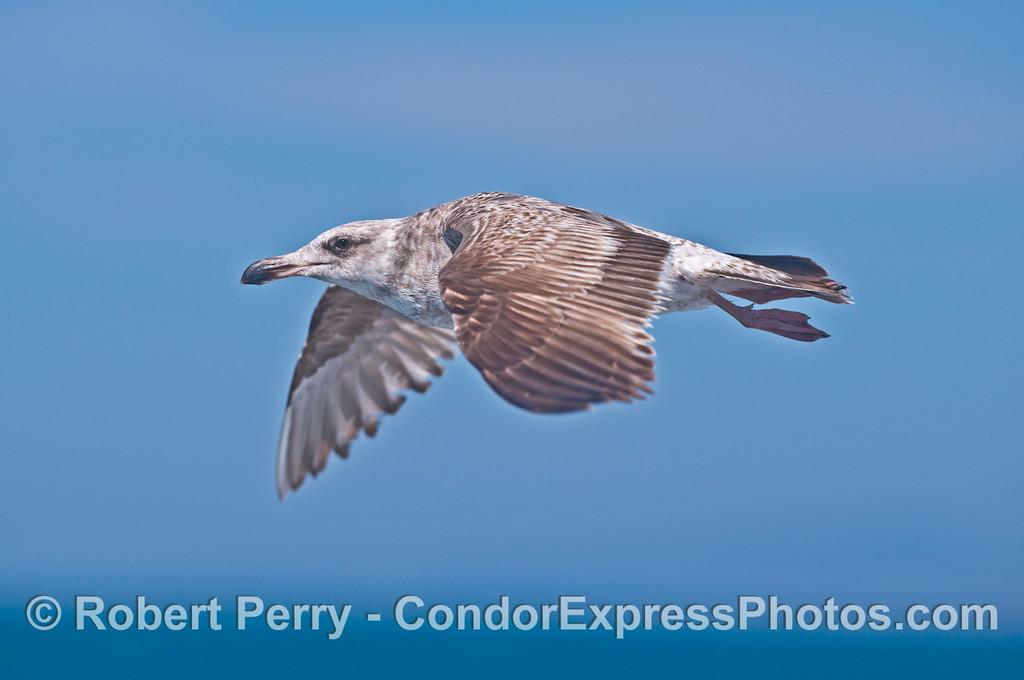 A juvenile gull makes a close approach.