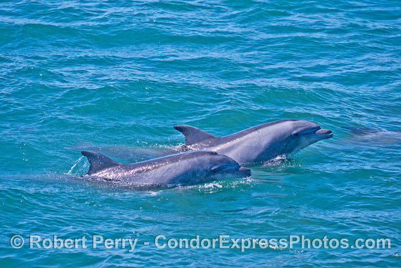Coastal bottlenose dolphins found in Goleta Bay.