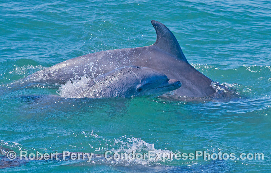 Coastal bottlenose dolphin calf swims along side its mother.