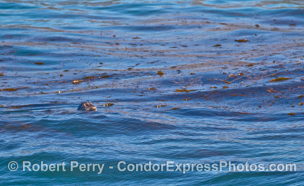 One of two photos of a Pacific Harbor Seal in giant kelp.  (The other photo is near the top of this page)