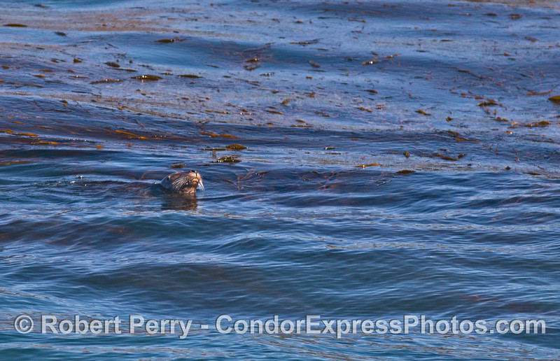 One of two photos of a Pacific Harbor Seal in giant kelp.  (The second photo is further down on this page)