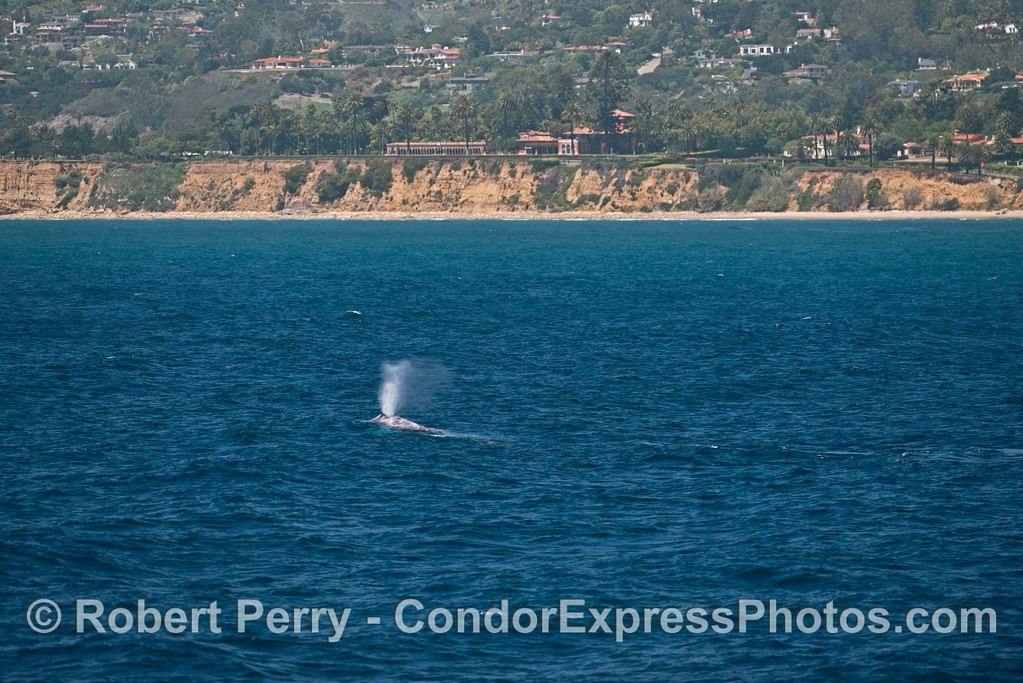 Pacific gray whale shown with the bluffs and coastal hills of Santa Barbara in back