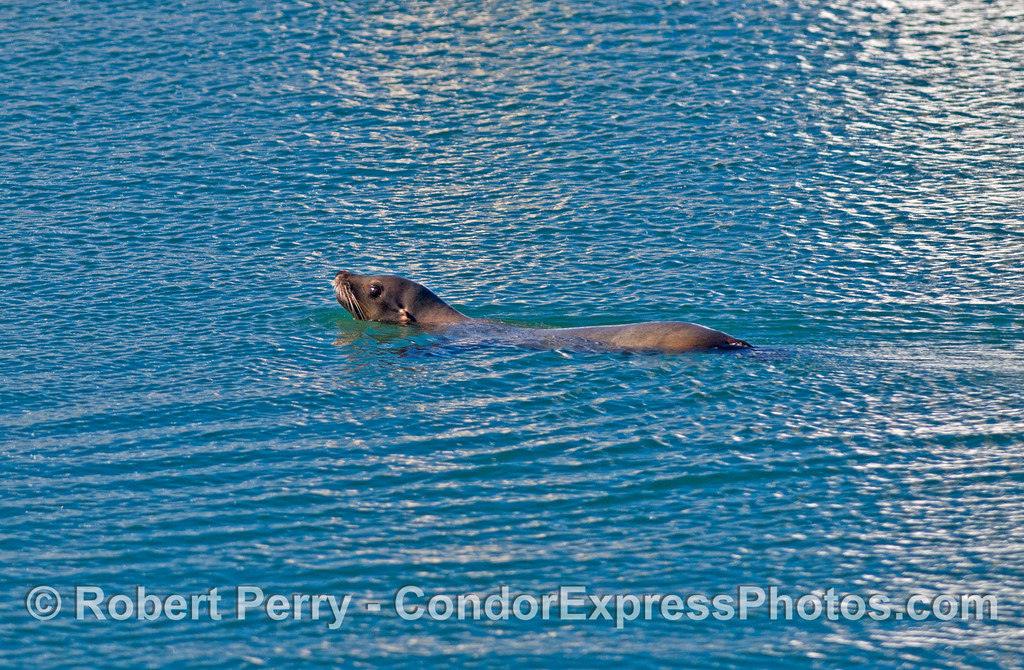A California sea lion was seen feeding inside Santa Barbara Harbor.