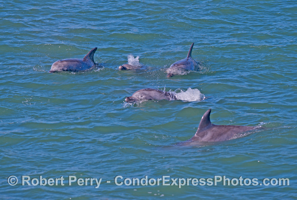 Five coastal bottlenose dolphins from a pod of 20 or so in Goleta Bay.