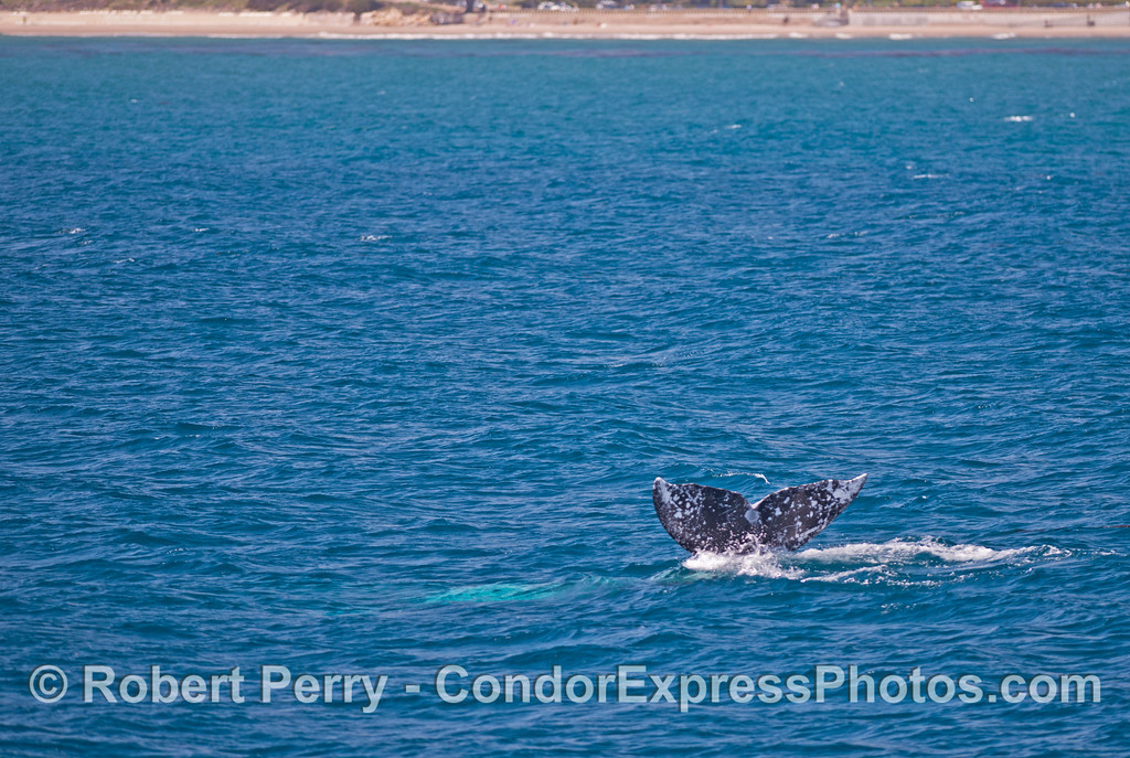 Gray whale tail flukes in blue water.