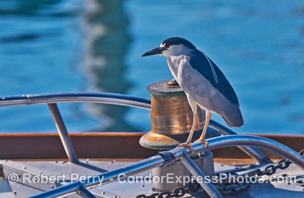 "A black-crowned night heron (adult) perced on the railing of the sportfishing vessel ""Stardust"""