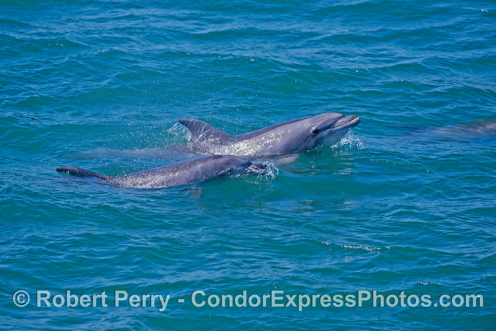 Coastal bottlenose dolphins found in Goleta Bay.