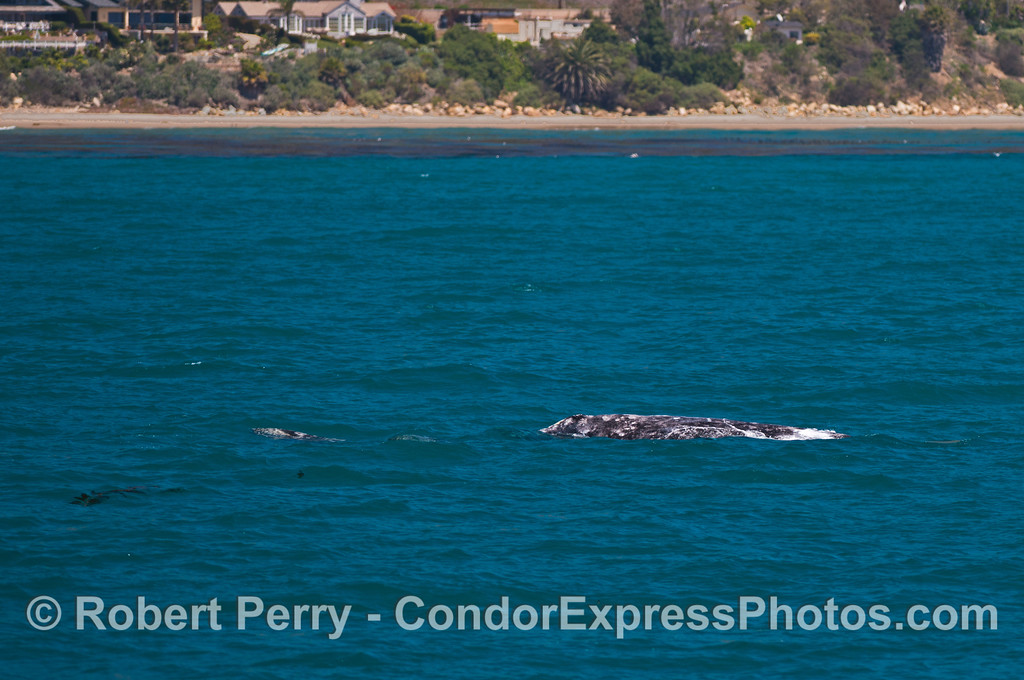 Gray whale mother and her calf....outside the kelp forest and close to the beach.