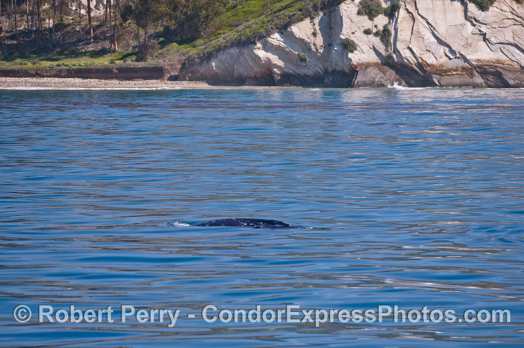 Sedimentary rock cliffs provide a backdrop for this migrating gray whale.
