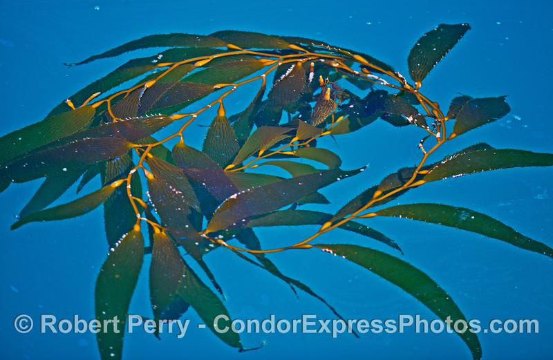 Circle of giant kelp.