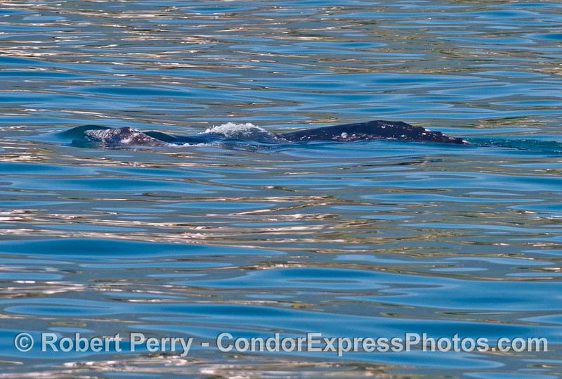 Gray whale calf (left) and mom (right).   Beaufort 1.