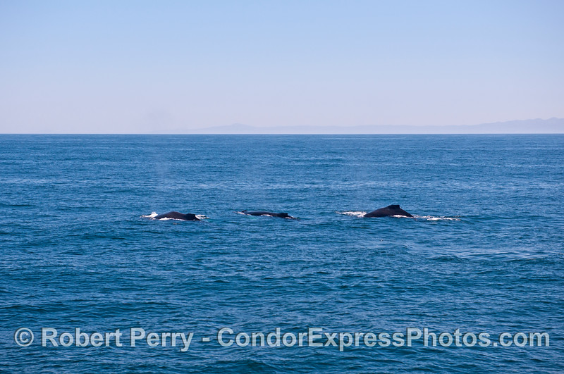 Three humpback whales all in a row.