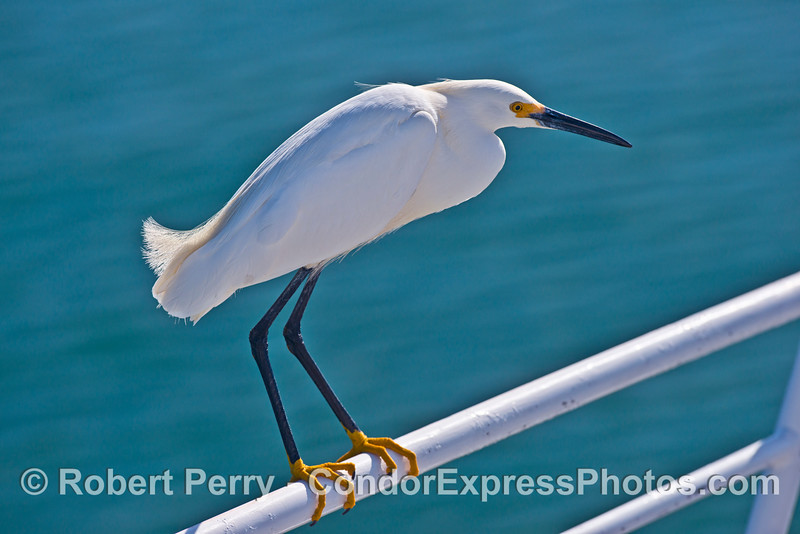 """A snowy egret with its """"yellow slippers"""" perches on the bow railing of the Condor Express."""