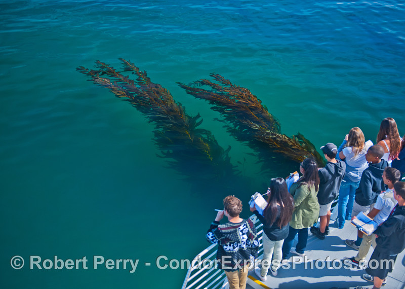 Humans and giant kelp