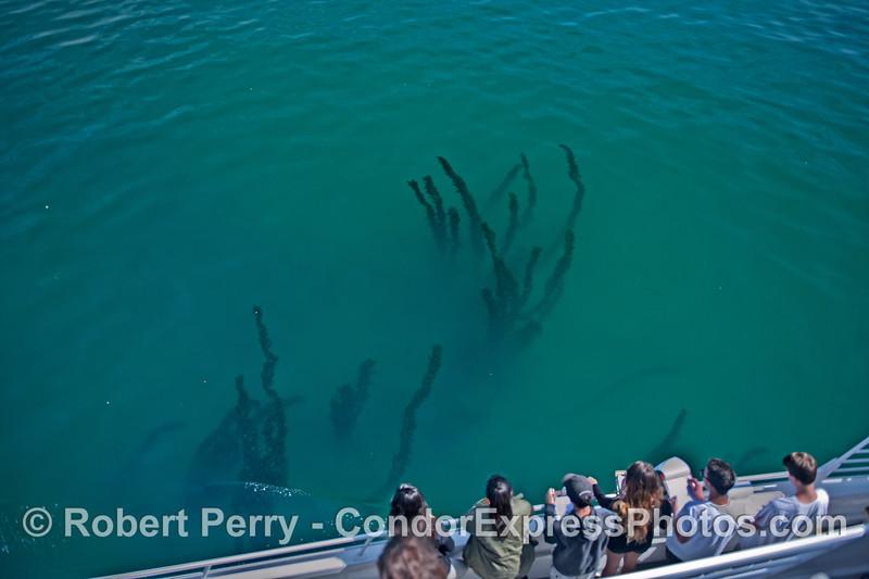 Humans and boa kelp (Egregia)