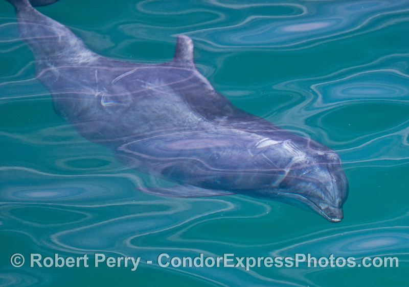 Extreme surface glass conditions creates unusual abstract patterns above a friendly bottlenose dolphin