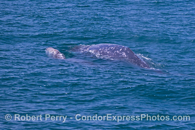 Gray whale mother and her calf