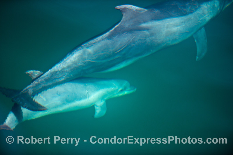 A bottlenose dolphin calf rides beneath its mother