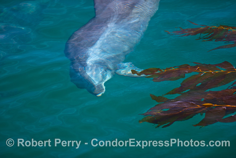 Bottlenose dolphin rises up from beneath the giant kelp forest