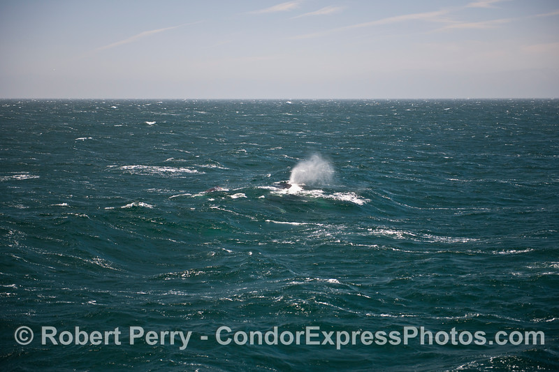 Large west swells and a stiff breeze showcase the mighty spout of a humpback whale.