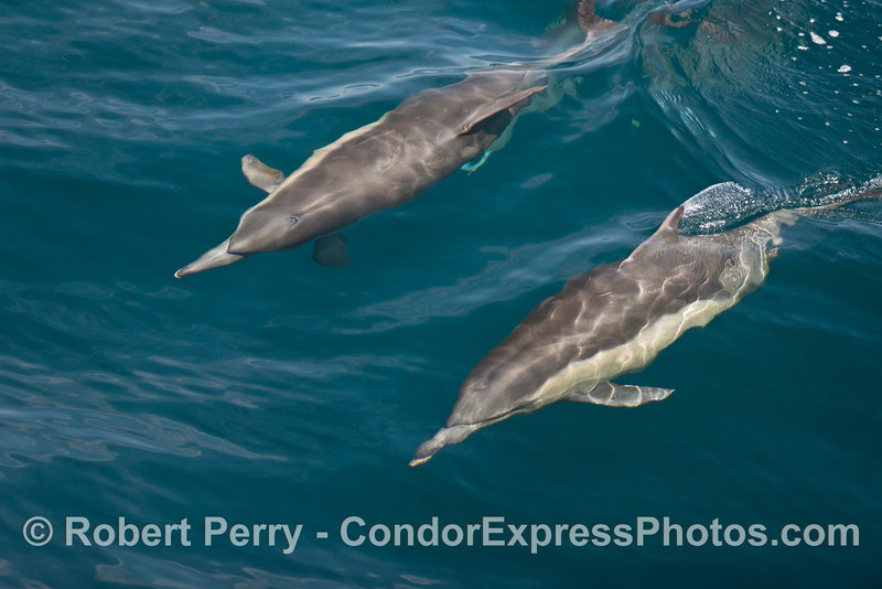 Two common dolphins in clear water.