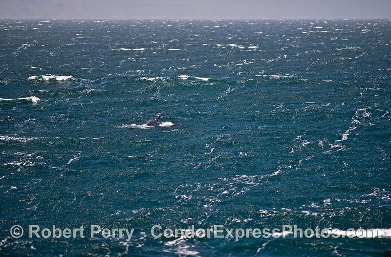 A solitary humpback whale is just barely visible on the rough surface.