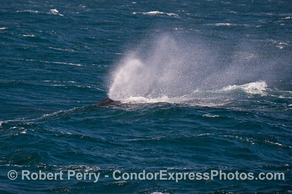 A humpback whale spouts as it heads down a big swell.