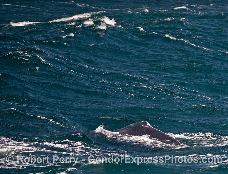 A large on-coming swell frames a humpback whale.