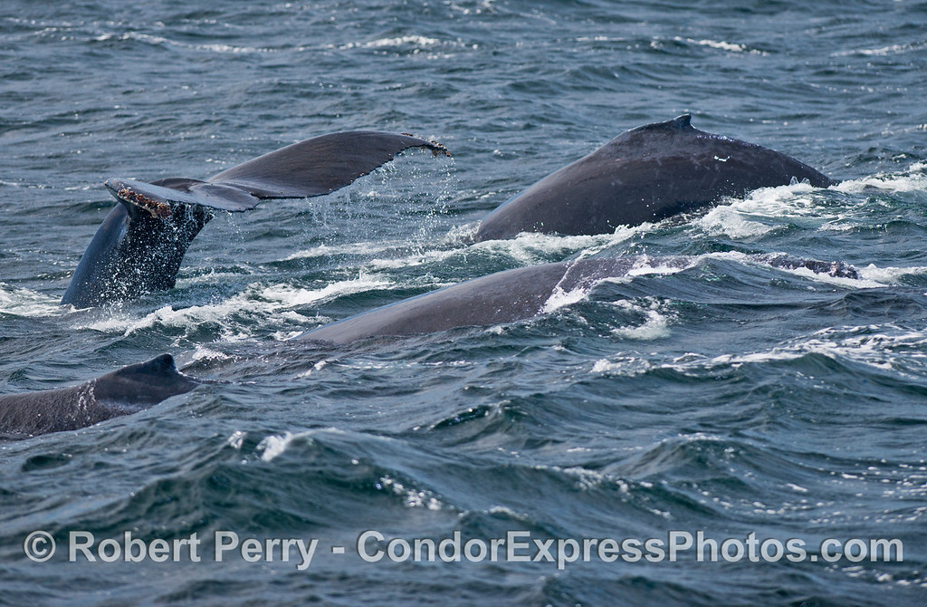 Four humpback whales ride the big swells.