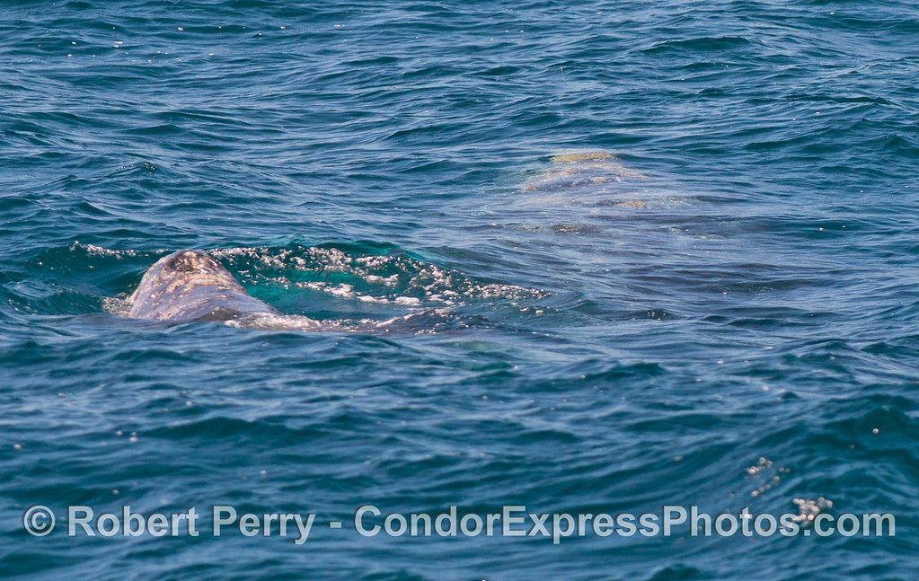 Mother (underwater to the right) and her calf (to the left) gray whales.