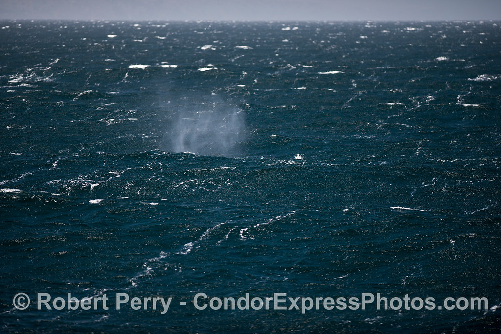 Humpback whale smoke on the water.