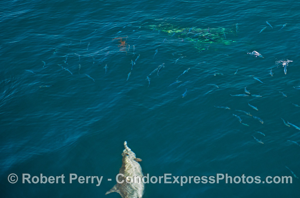 A hunting common dolphin sends a school of sardines running.