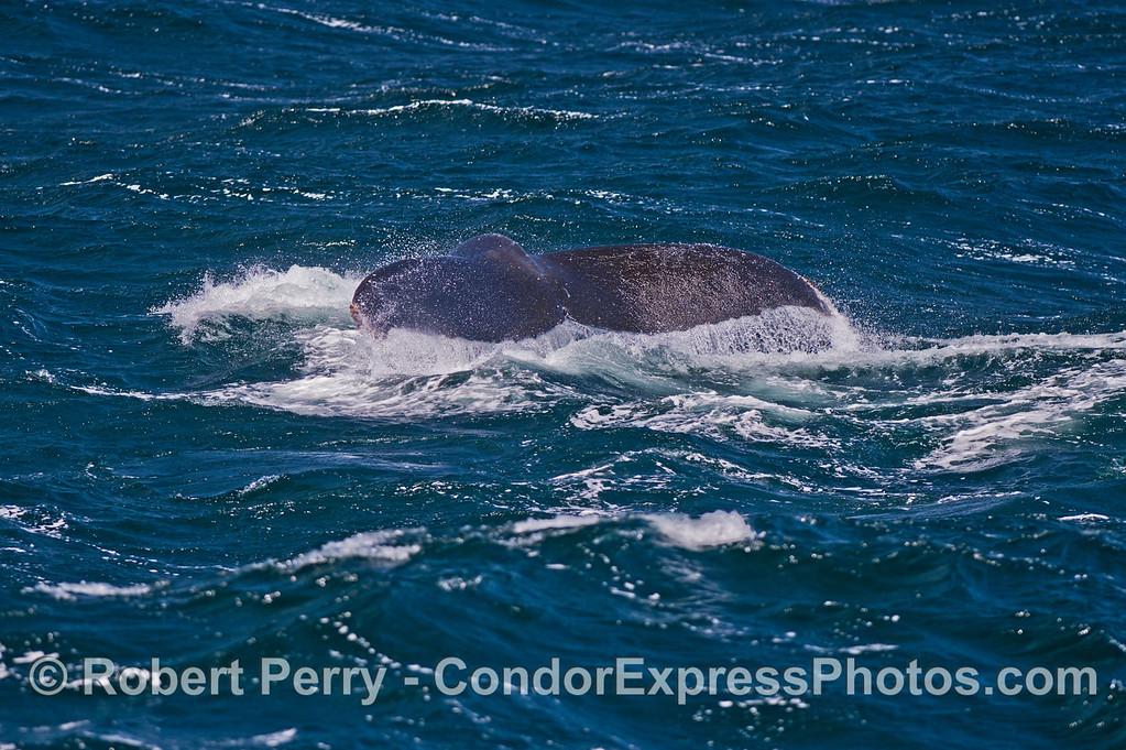 Humpback whale tail flukes.