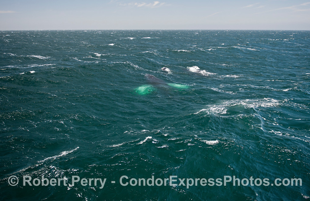 A large humpback whale with white pectoral flukes pushes ahead between the large west swells.