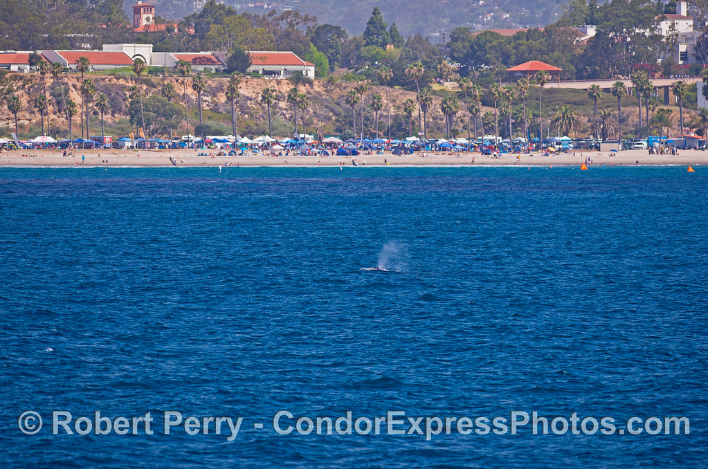 A mother and calf gray whale pair and SBCC on the hill in back.