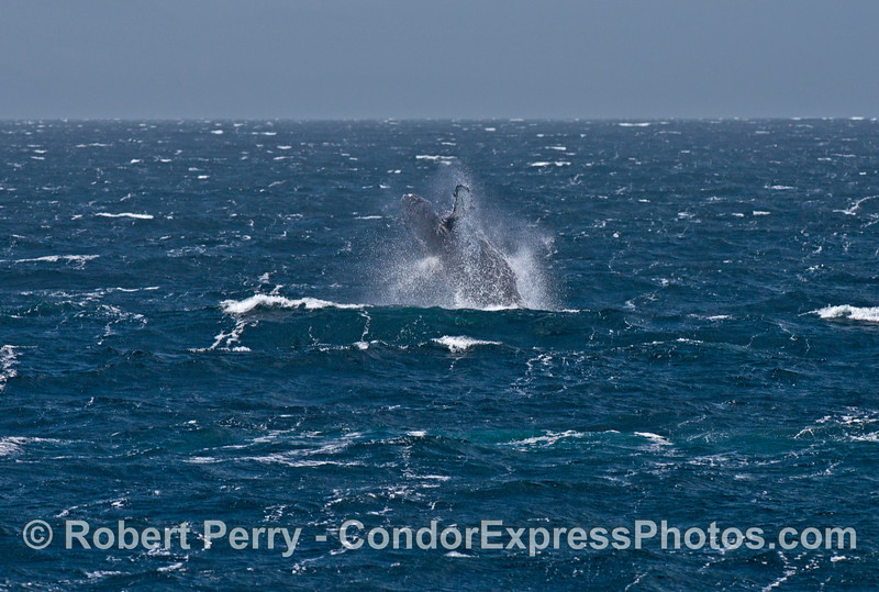 A humpback whale breaches as the wind sends spray flying everywhere.