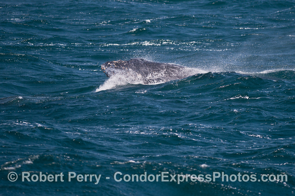 A humpback whale calf gets part of its body airborne as it comes through the back of an oncoming swell.