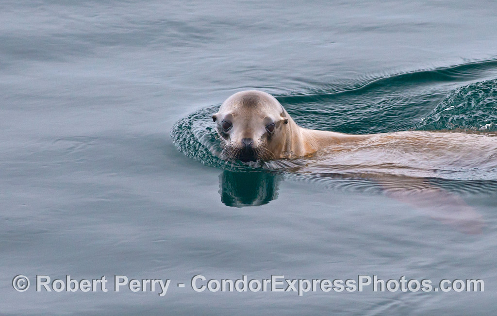 California sea lion.