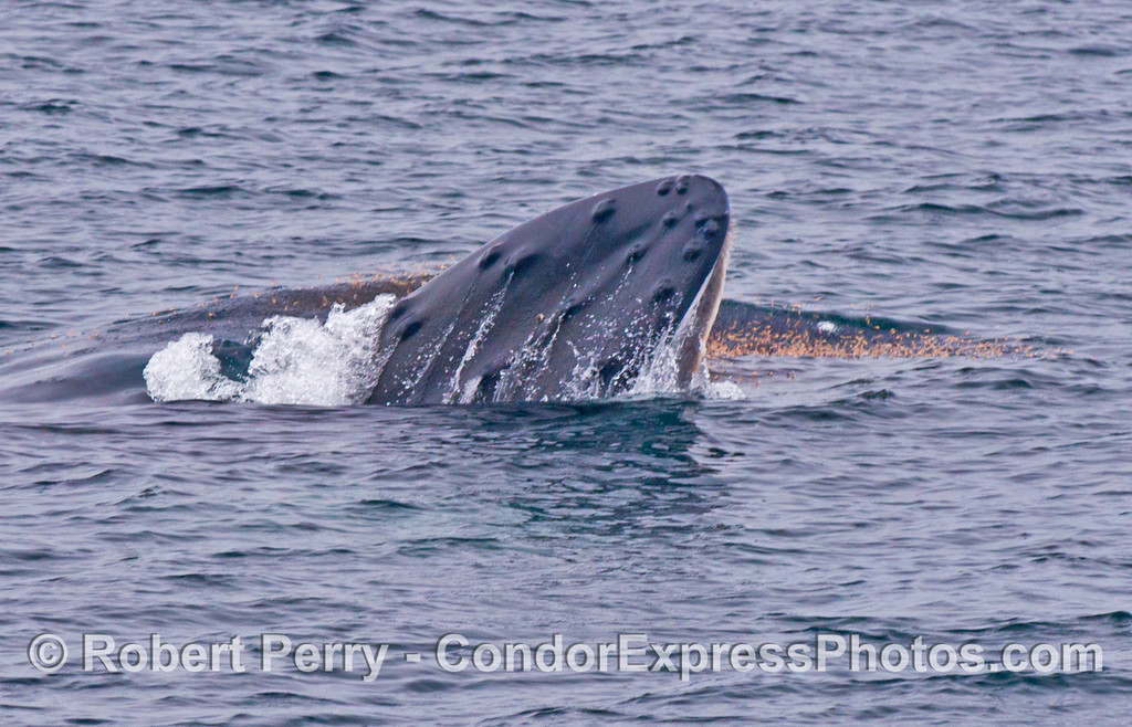 Red krill on the surface leap as best they can to escape the huge mouth of a lunge feeding humpback whale.