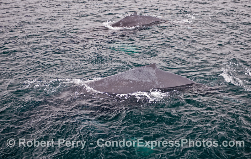 Two humpbacks, each with white pectoral fins glowing under the blue water.