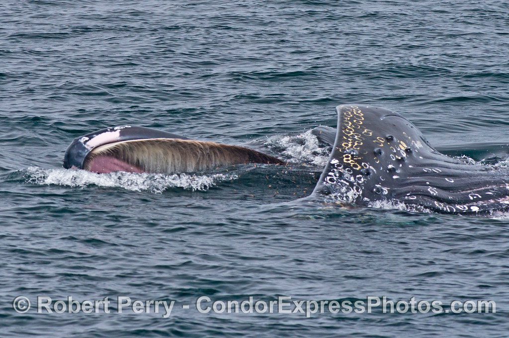 Image 1 of 2:  A surface lunge feeding humpback whale is shown leaning on its right side.  The pink soft palate of the upper jaw, surrounded by baleen can be seen.  Many red krill are also visible inside the open mouth.
