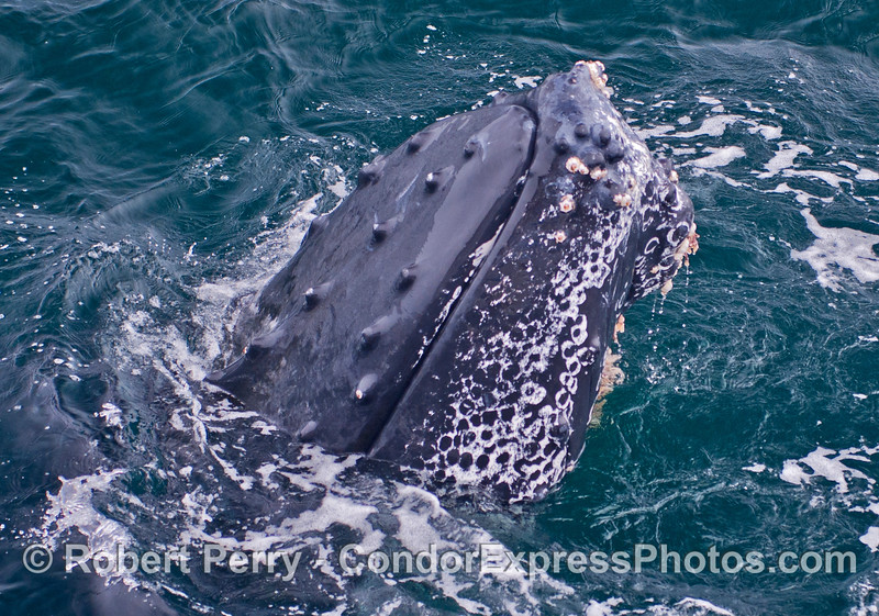 1 of 3:  a very friendly humpback whale spyhops next to the boat.