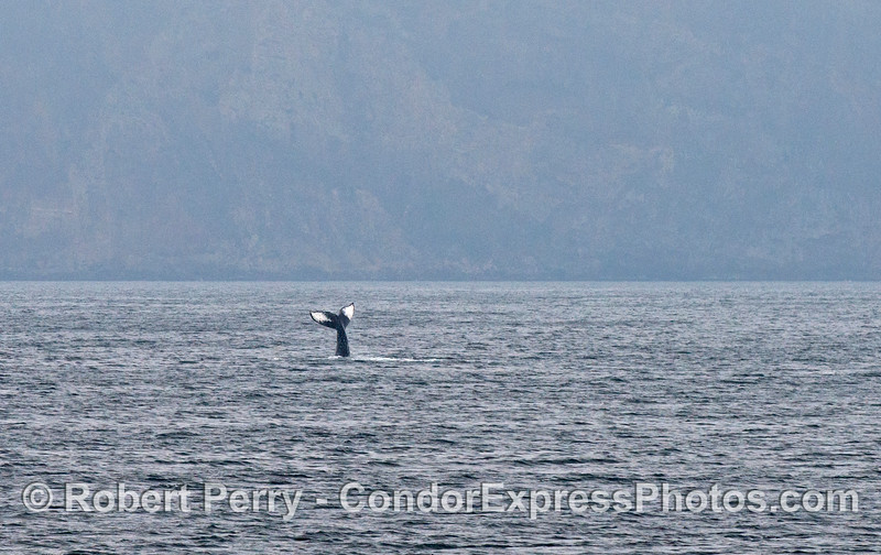 Santa Cruz Island forms a backdrop for this lob-tailing humpback whale.